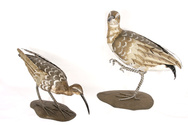 Tole Curlews